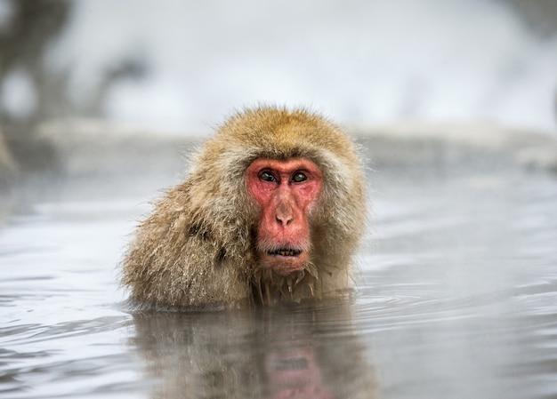 Le macaque japonais est assis dans l'eau dans une source chaude. japon. nagano. parc des singes de jigokudani.