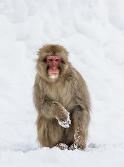 Le macaque japonais est debout sur ses pattes arrière dans la neige. japon. nagano. parc des singes de jigokudani.