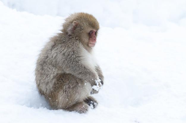 Macaque japonais solitaire dans la neige