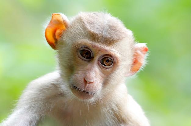 Macaque à longue queue macaque fascinant macaca fascicularis