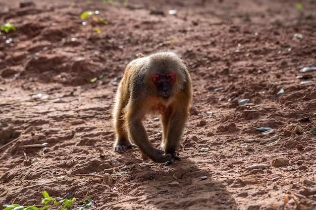 Macaque à queue de moignon, macaque d'ours (macaca arctoides)
