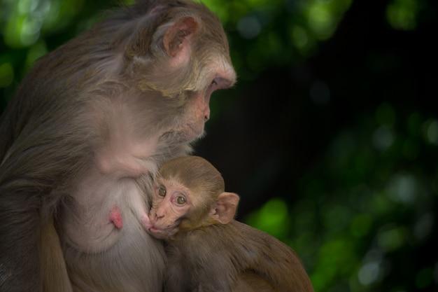 Le macaque rhésus