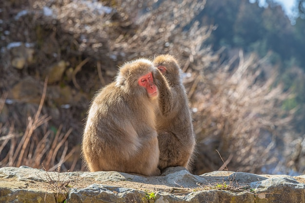 Macaques japonais mignons, l'un se toilettant l'autre