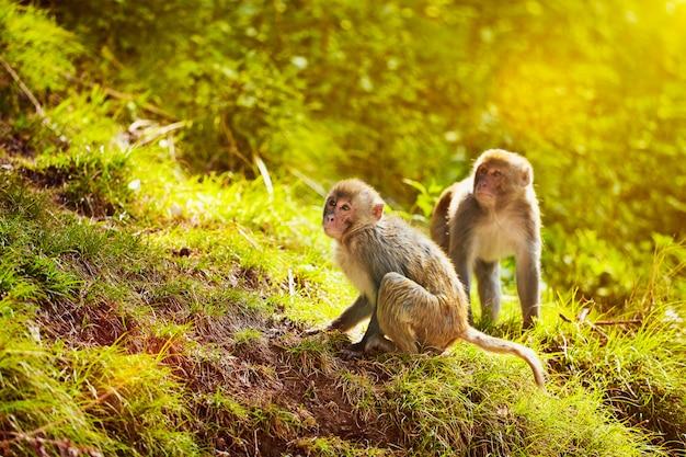 Macaques rhésus en forêt
