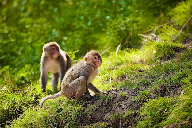 Macaques rhésus en inde