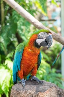 Macau parrot