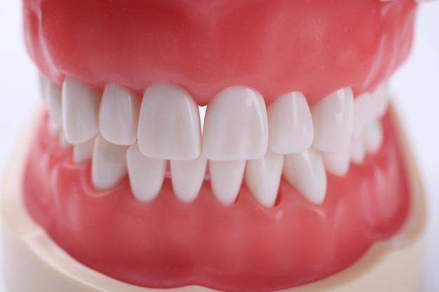 Mâchoire humaine artificielle avec morsure correcte et concept d'hygiène buccale des dents blanches