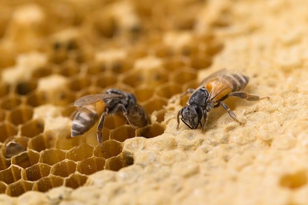 Macro d'abeille et nature en nid d'abeille