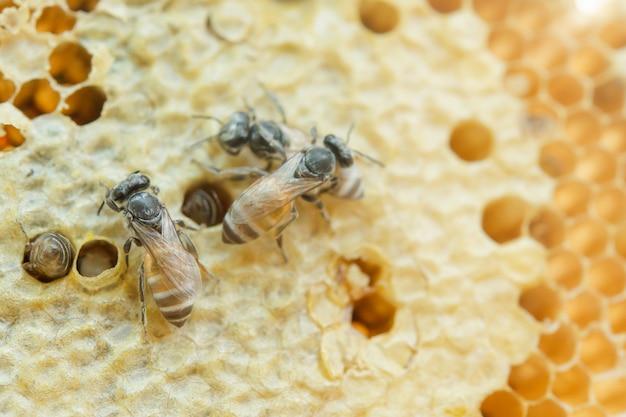 Macro d'abeilles travaillant sur nid d'abeille