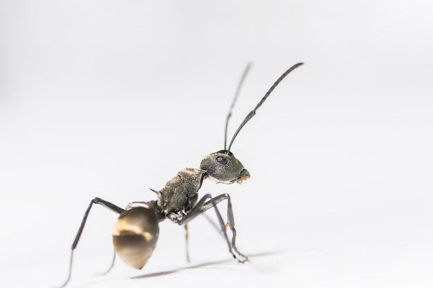 Macro ant noir