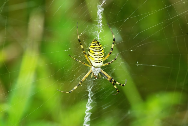 Macro d'araignée argiope sur sa toile
