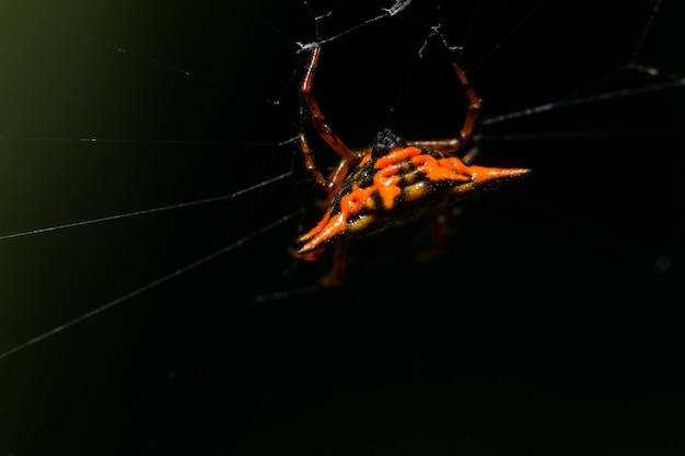 Macro araignée orange