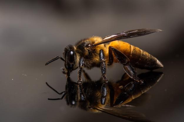 Macro bee fond noir