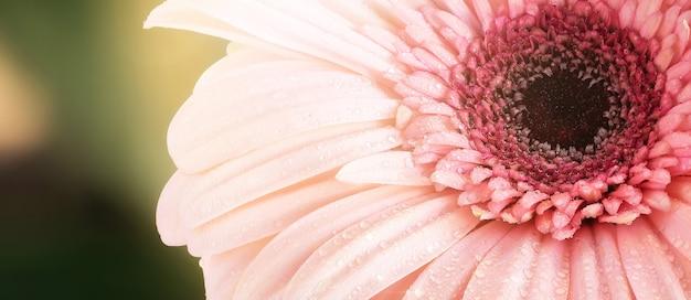 Macro de belles gouttes de rosée sur un gerbera rose. lumière douce du soleil sur fond vert. gouttes de pluie d'eau sur les pétales roses de fleurs naturelles. résumé beau fond panoramique.