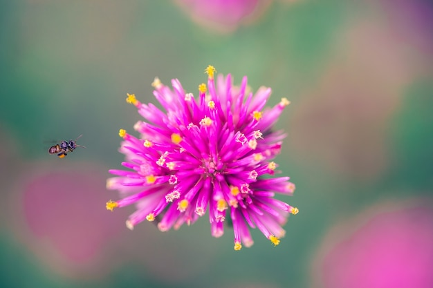 Macro close up de petites fleurs roses vives avec abeille volante (gomphrena globosa japonais ou fleur d'amarante globe japonais). concept de belle nature,