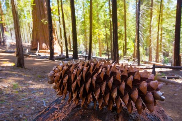 Macro de cône de pin séquoia à yosemite mariposa grove