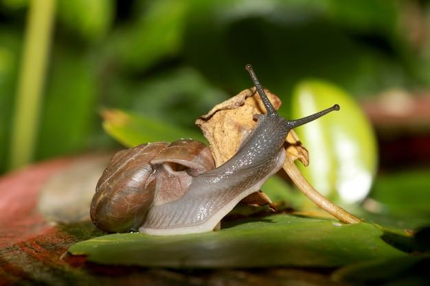 Macro l'escargot mangeant la feuille sèche en saison des pluies.