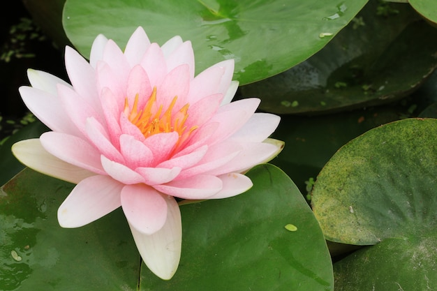 Macro fermer la fleur de lotus pétale.