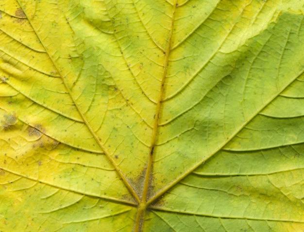 Macro de feuille d'arbre vert automne