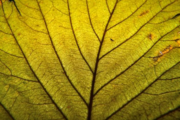 Macro de feuille d'automne. les nervures des feuilles se bouchent.