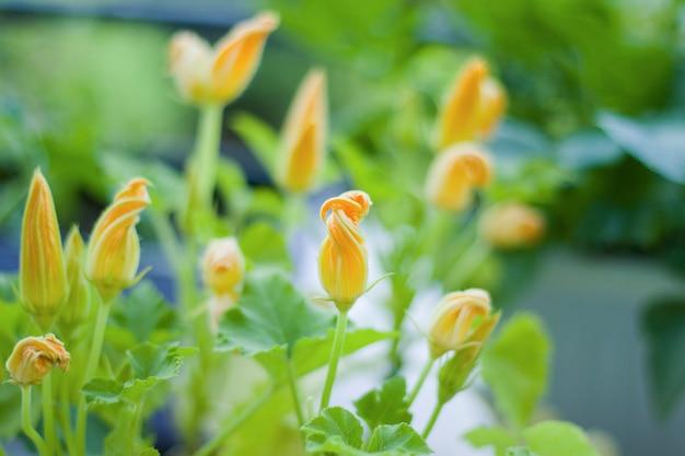 Macro de fleur de courgette et gros plan, fond de couleurs jaune et vert. beauté dans la nature.