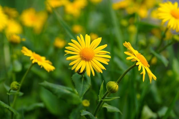 Macro fleur de marguerite