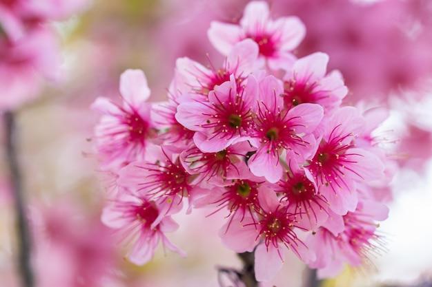 Macro fleur prunus cerasoides