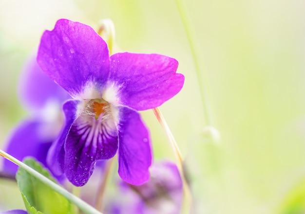 Macro d'une fleur violette sauvage sur une prairie au matin de printemps, faible profondeur de champ