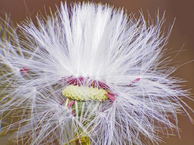 Macro de fleurs de pissenlit blanc magnifique et gros plan.