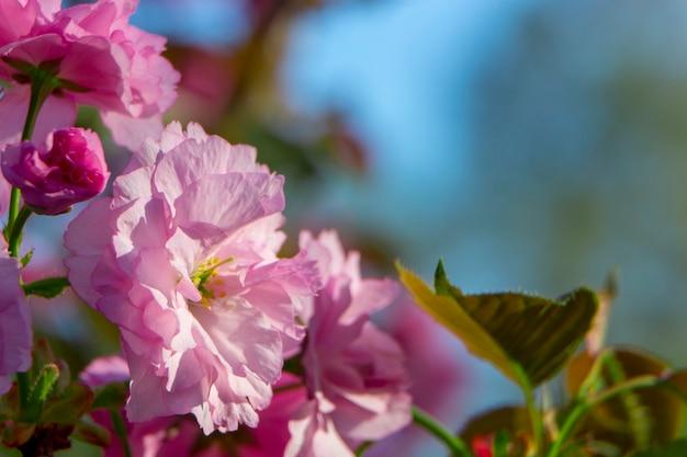 Macro de fleurs de sakura rose