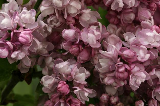 Macro de fond lilas floraison printanière