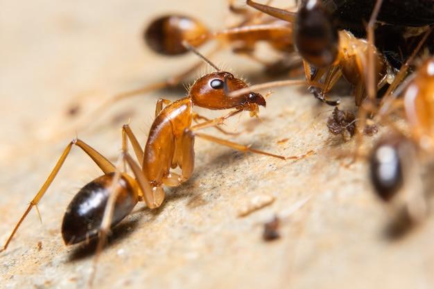 Macro ghost ant