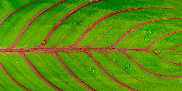 Une macro gouttes d'eau sur la surface de la feuille concept tropical abstrait