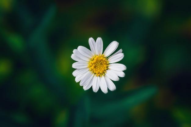 Macro gros plan d'une petite marguerite blanche vive. concept de belle nature