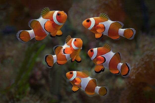 Macro gros plan de poisson clown. poisson marin