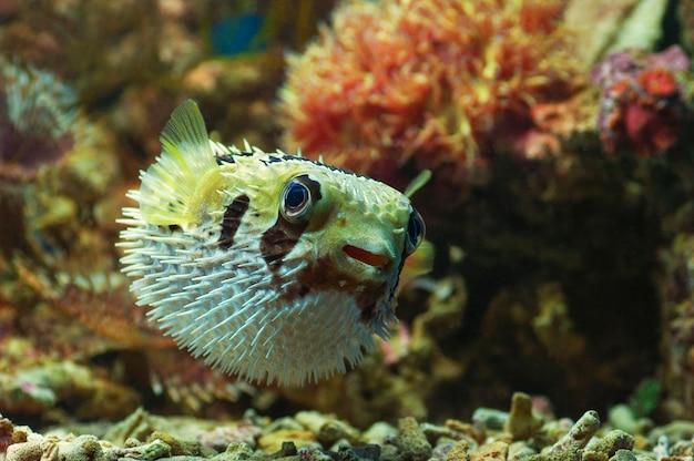 Macro gros plan de poisson-globe porc-épic. poisson marin