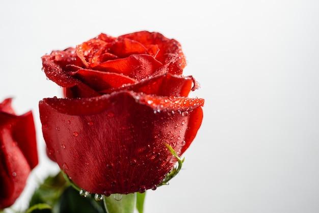 Macro image d'une rose avec des gouttes d'eau se bouchent avec la surface.