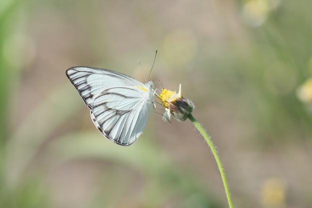 Macro insecte papillon blanc