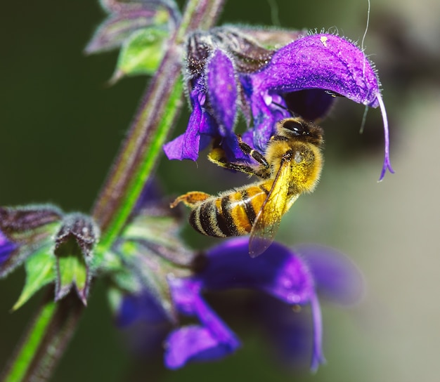 Macro d'un insecte qui recueille le pollen d'une fleur