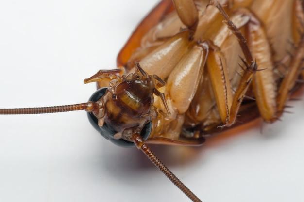 Macro d'insectes blattes de l'ordre blattodea