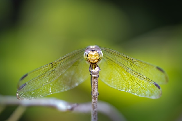 Macro libellule sur une branche