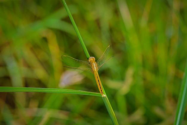 Macro de libellule sur l'herbe partent. libellule dans la nature