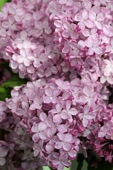 Macro de lilas en fleurs de printemps avec fond de gouttes d'eau