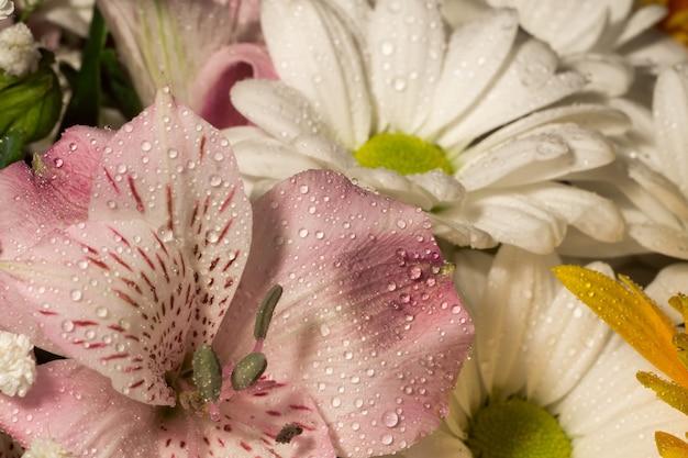 Macro de lis péruvien rose