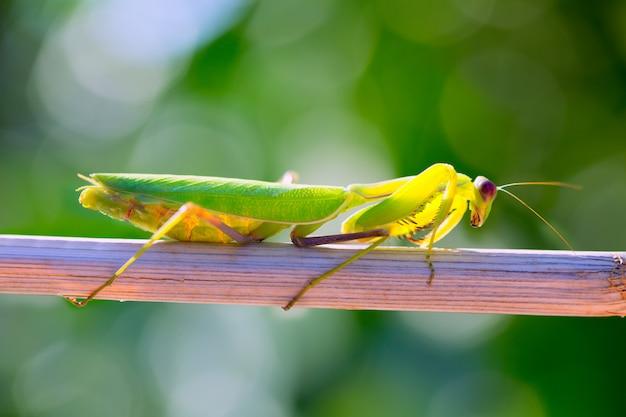Macro mante religieuse insecte