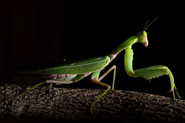 Macro mantis vert sur la branche