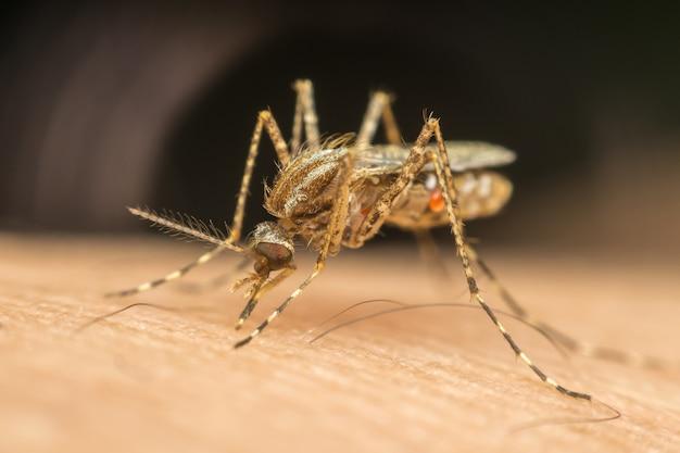 Macro de moustique (aedes aegypti) suçant le sang de près sur la peau humaine