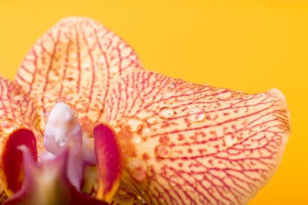Macro d'orchidée jaune et rouge avec des gouttes d'eau. phalaenopsis. fermer. printemps.