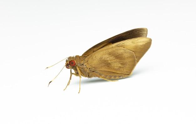Macro de papillon de nuit isolé sur fond blanc