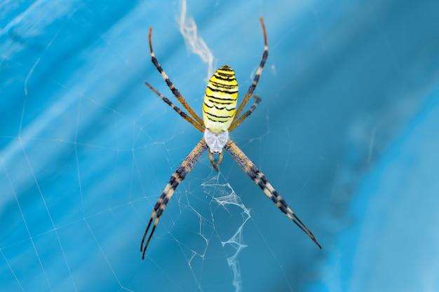 Macro photo araignée argiope bruennichi sur le web sur un fond bleu gros plan